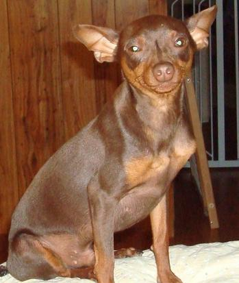 Our Min Pins Dobie S